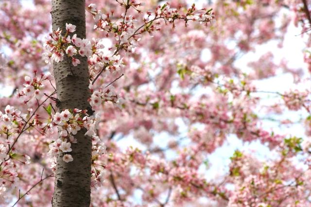 Cherry Blossom 14 049