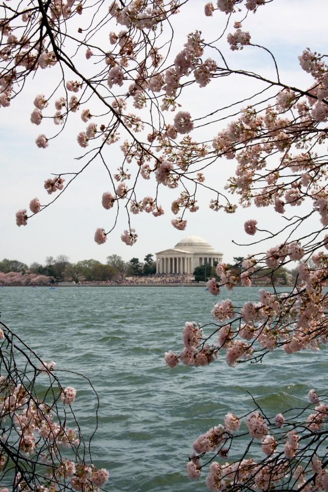 Cherry Blossom 14 186